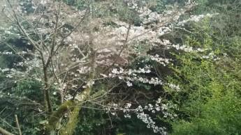 ダイニングからの桜