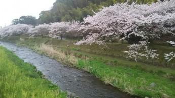 桜、菜の花 川岸