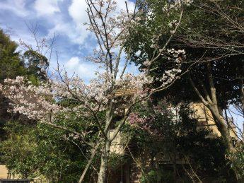 玄関前の桜(^^♪のイメージ